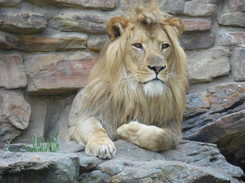FW Zoo Lion